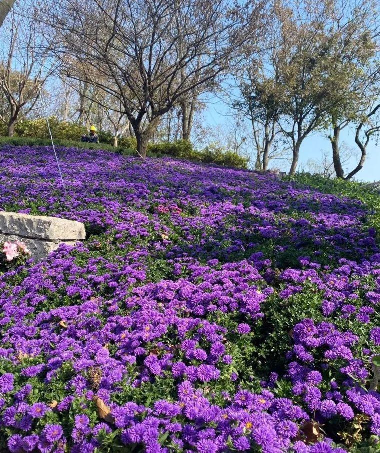11月份常用的30种花境植物_18