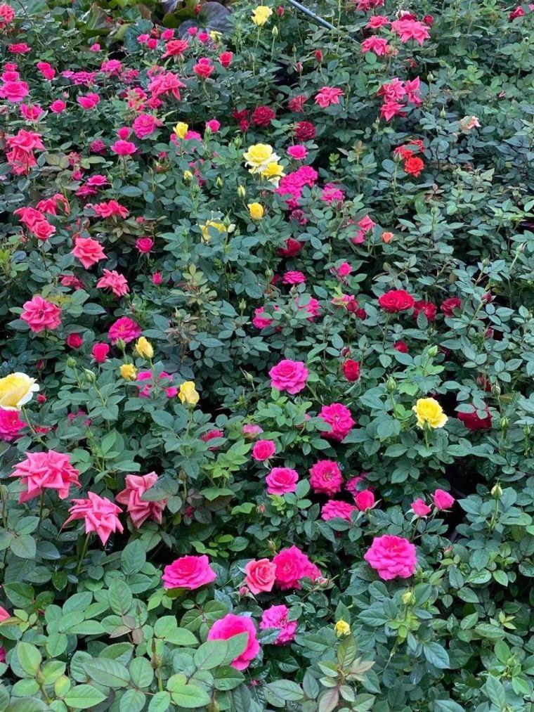 11月份常用的30种花境植物_23
