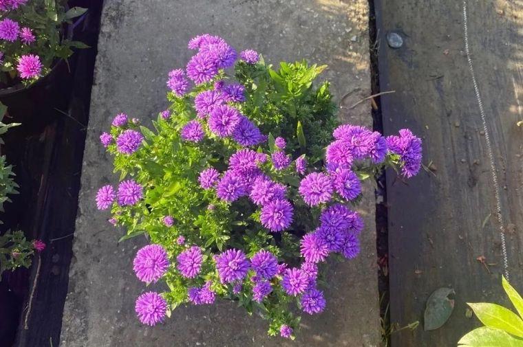 11月份常用的30种花境植物_20