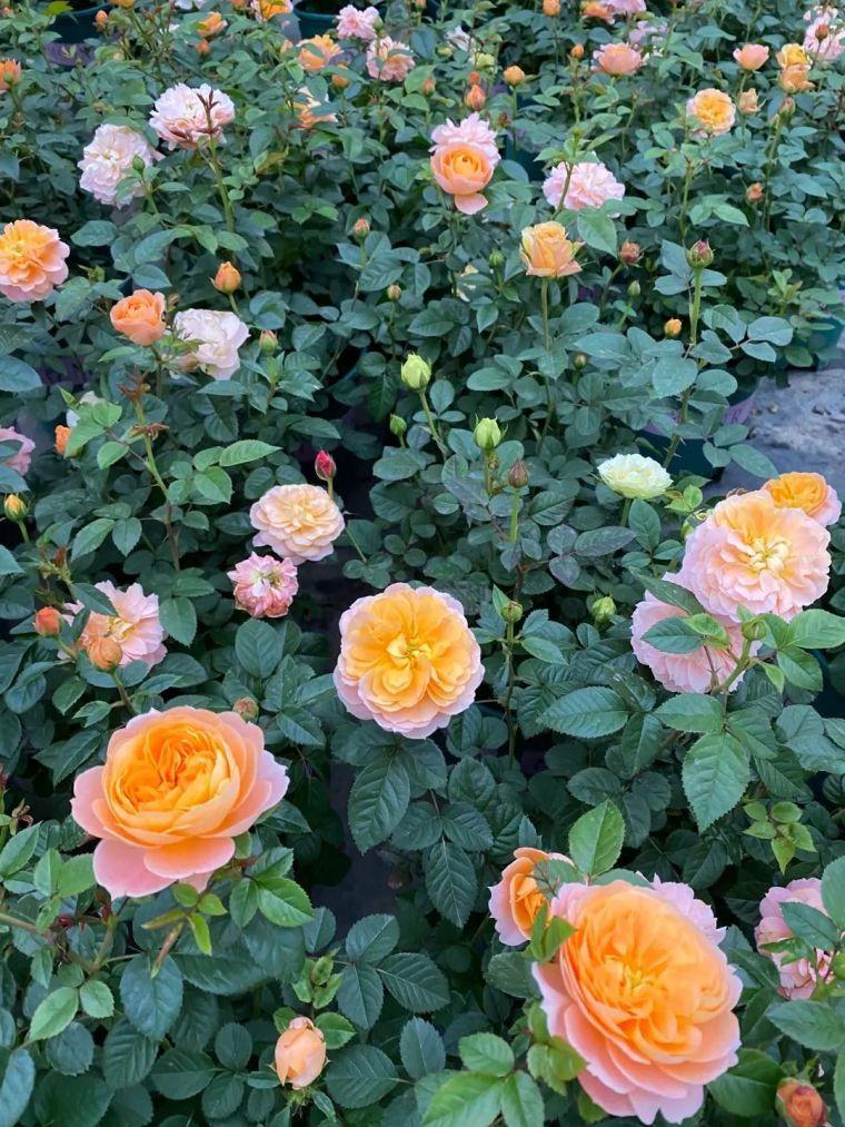 11月份常用的30种花境植物_22