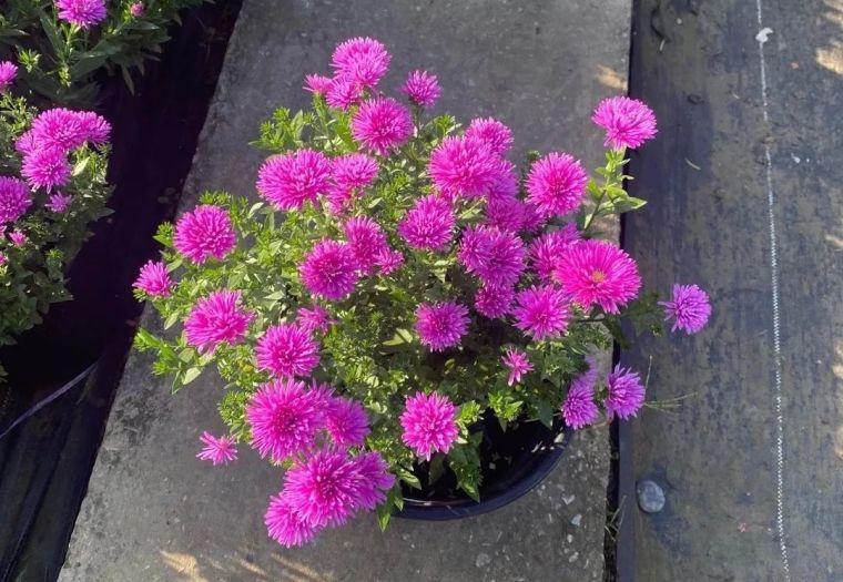11月份常用的30种花境植物_21