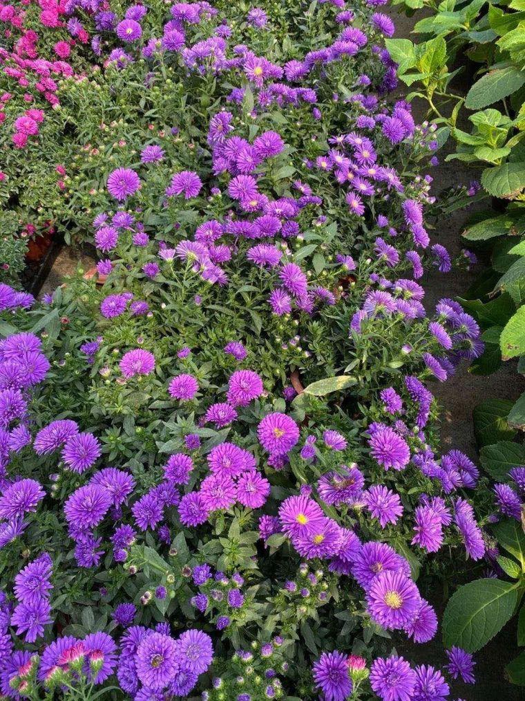 11月份常用的30种花境植物_19