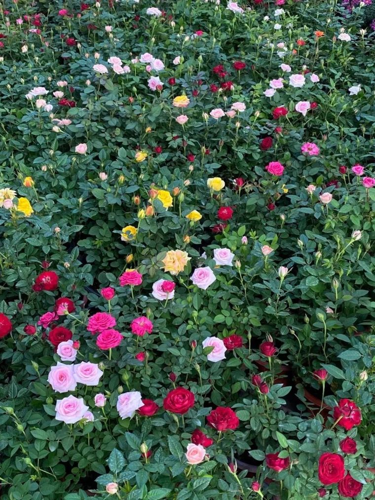11月份常用的30种花境植物_24