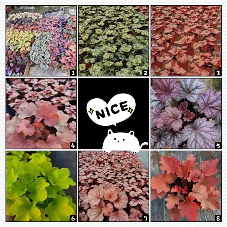 11月份常用的30种花境植物_27