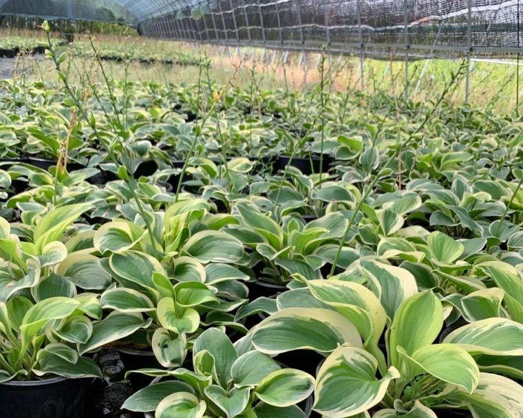 11月份常用的30种花境植物_26