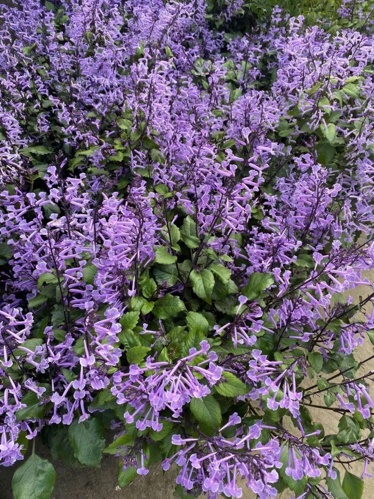 11月份常用的30种花境植物_25