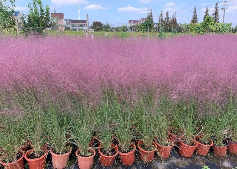 11月份常用的30种花境植物_32