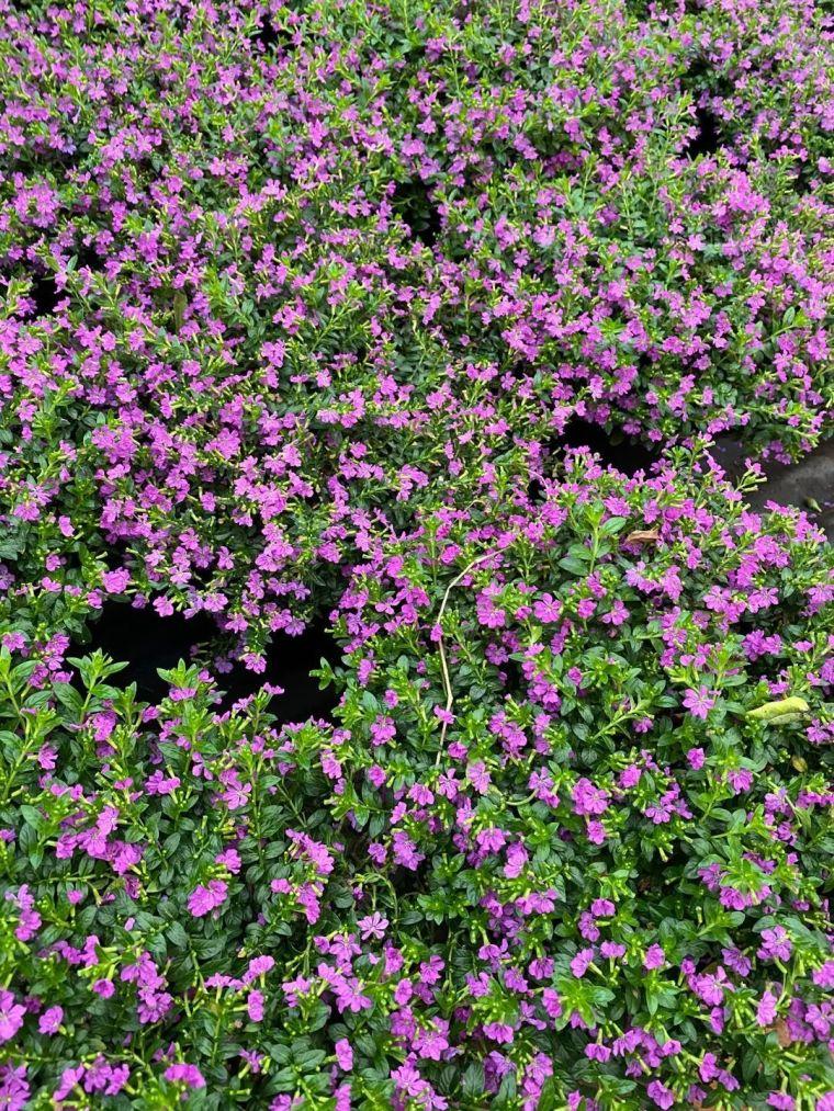 11月份常用的30种花境植物_36
