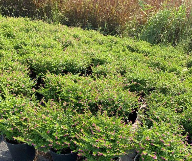11月份常用的30种花境植物_37