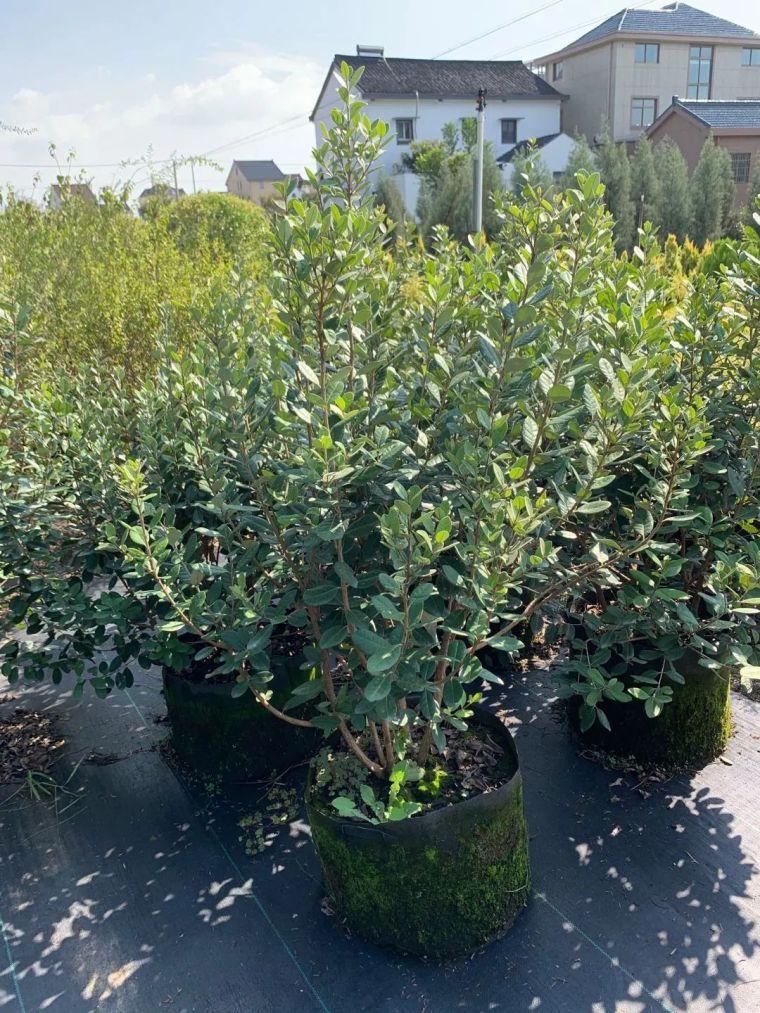 11月份常用的30种花境植物_38