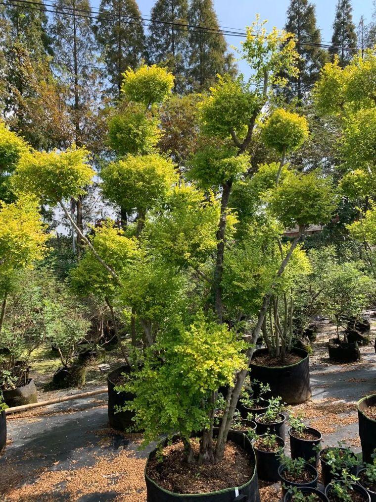 11月份常用的30种花境植物_39