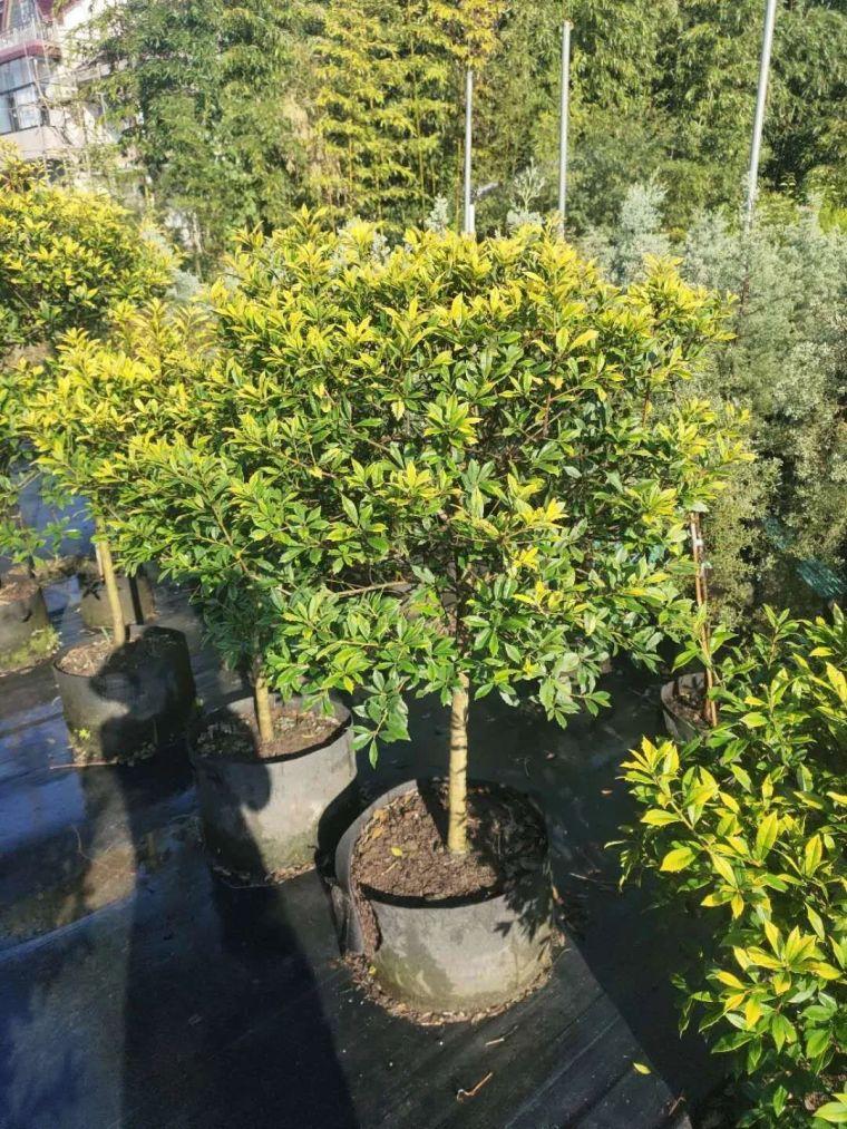 11月份常用的30种花境植物_45