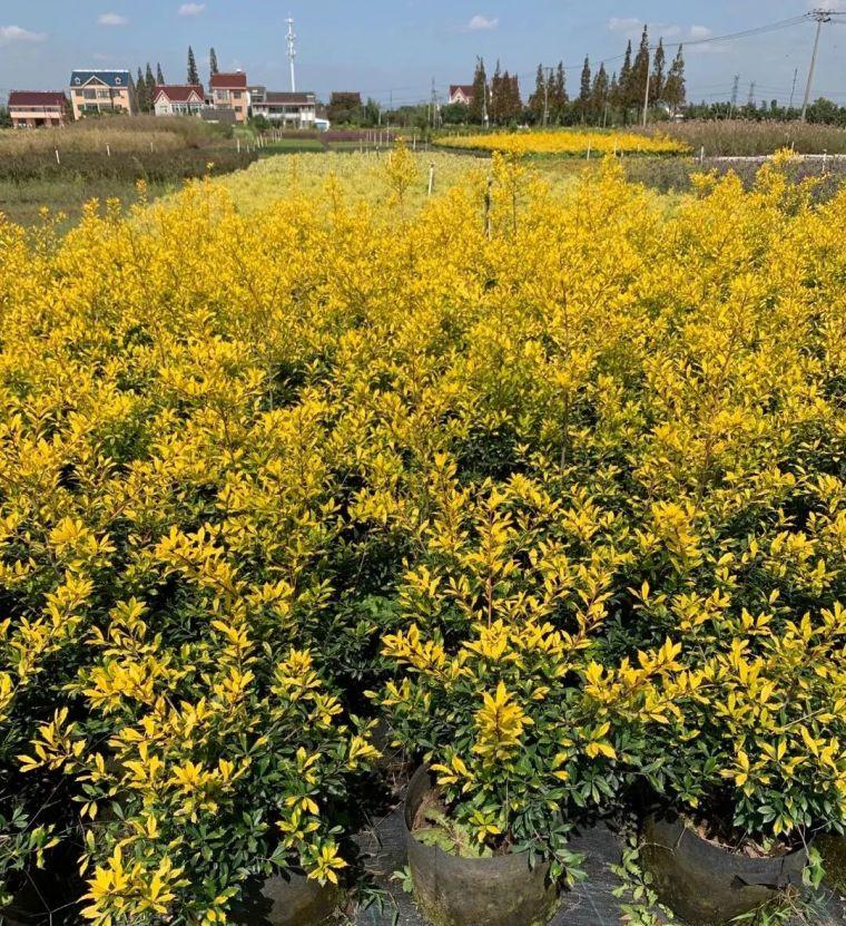 11月份常用的30种花境植物_43