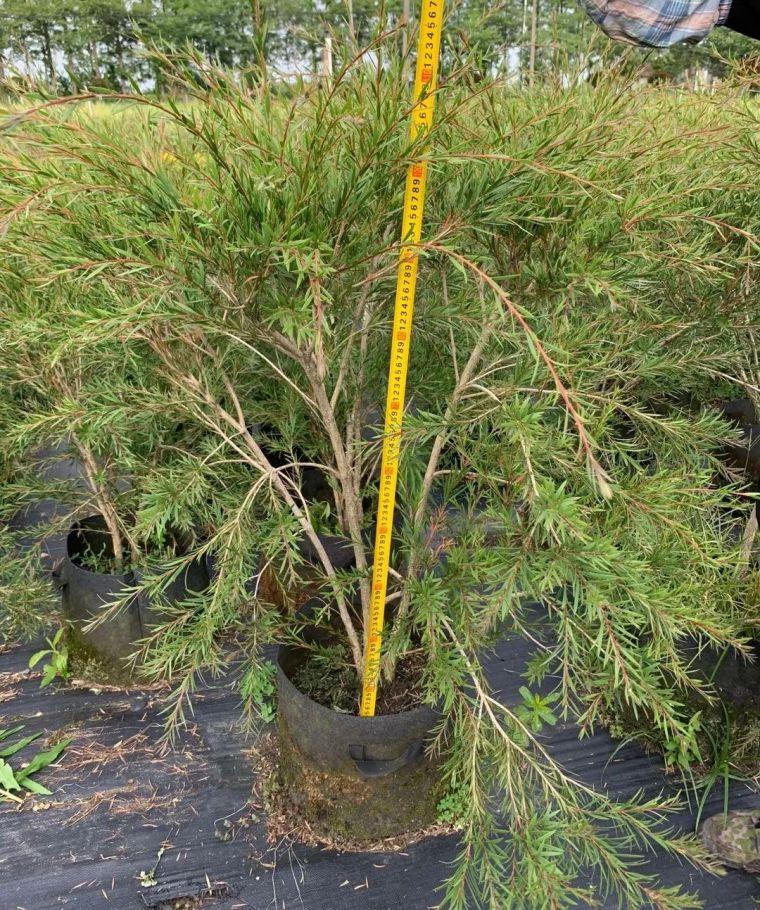 11月份常用的30种花境植物_47