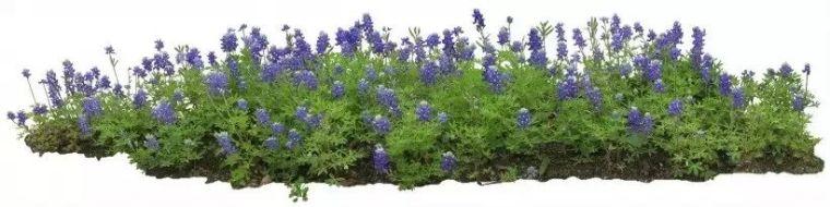 园林地被植物应用,齐了!_8