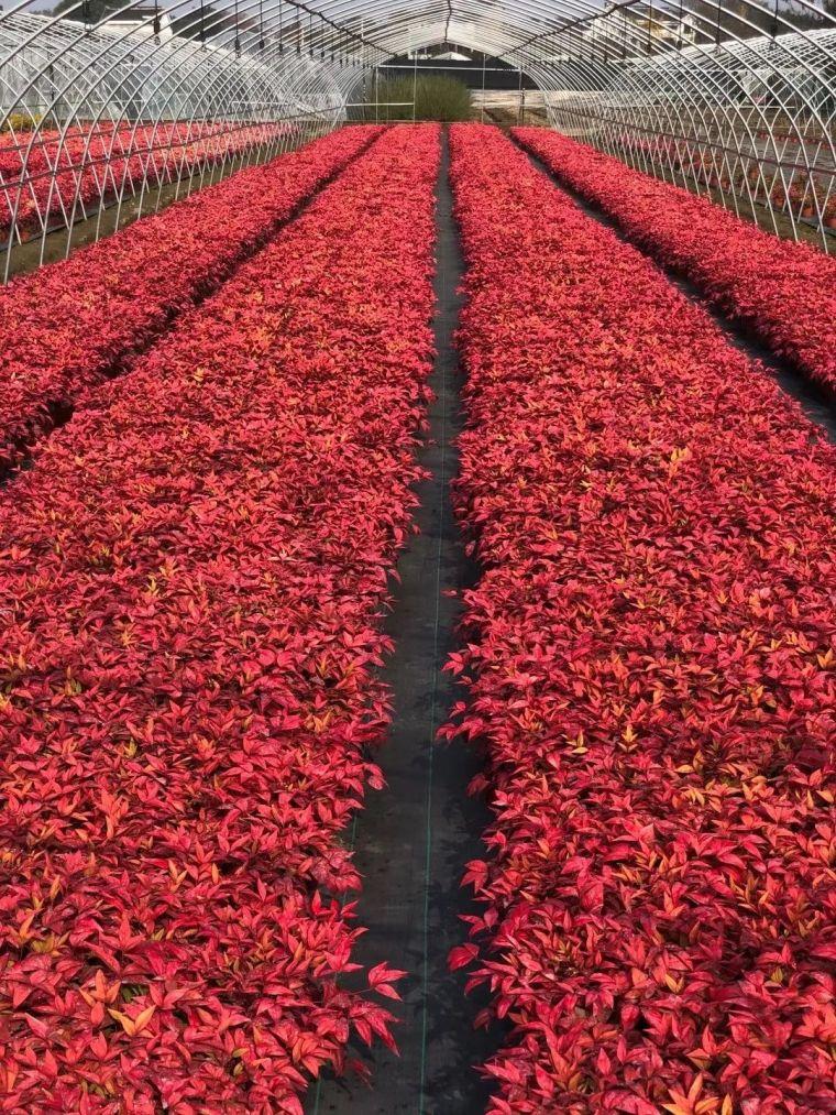 11月份常用的30种花境植物_1