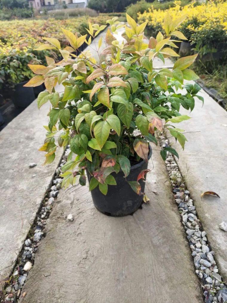 11月份常用的30种花境植物_2