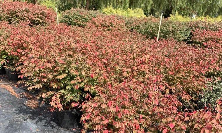 11月份常用的30种花境植物_3
