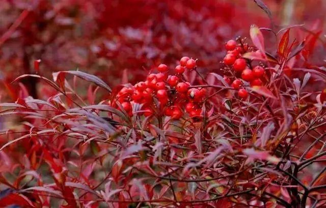 中式园林造景的经典植物!_13