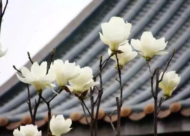 中式园林造景的经典植物!_5