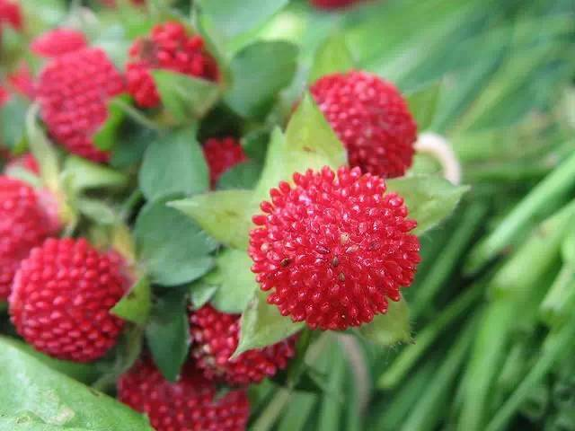 近百种户外植物名称大全_41