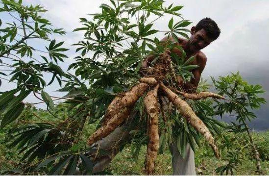 """原产巴西""""剧毒""""植物,引入中国90年后...._2"""
