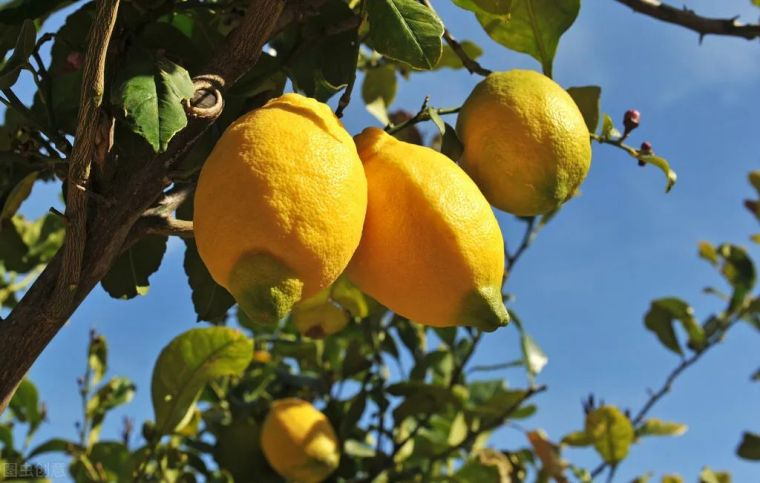 有院子就要安排上的果树,好看又美味_5
