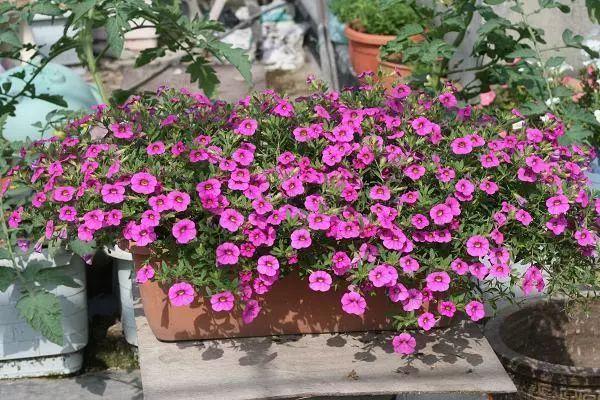 100种·花卉植物图谱_96