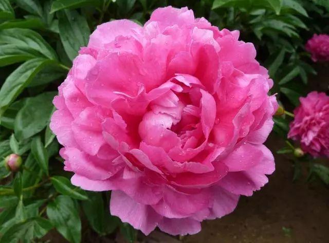 100种·花卉植物图谱_6