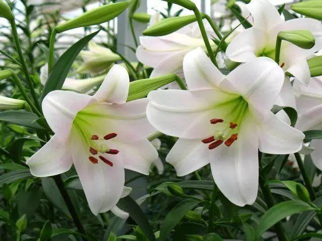 100种·花卉植物图谱_20