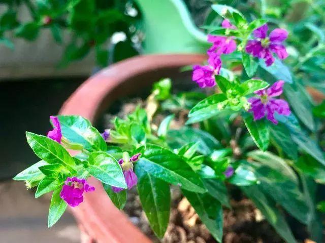 100种·花卉植物图谱_27