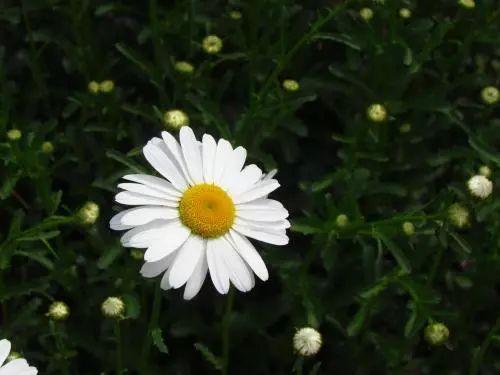 100种·花卉植物图谱_33