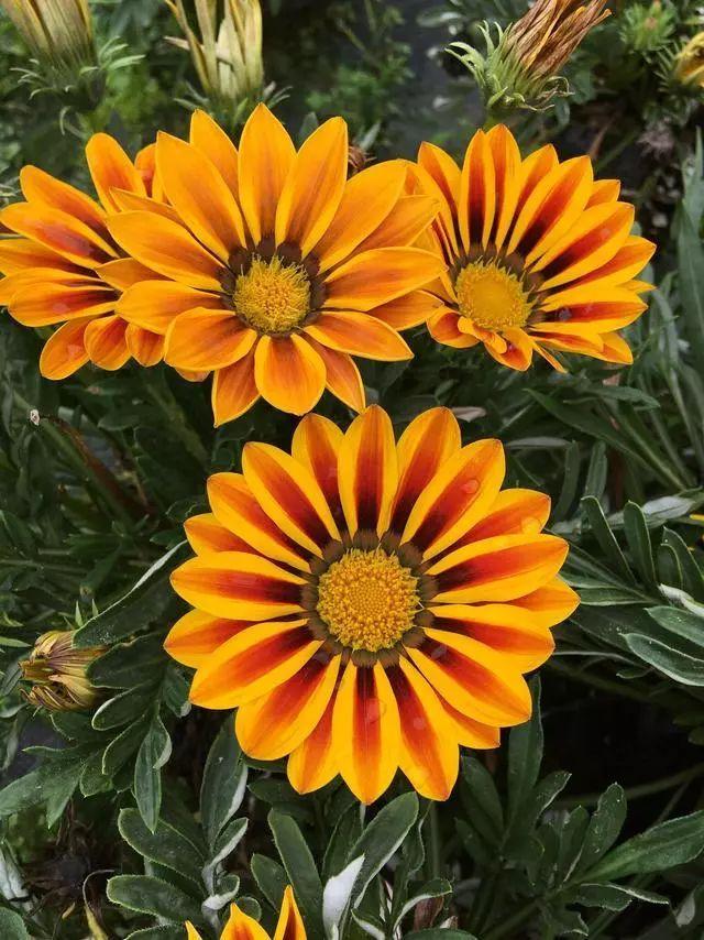 100种·花卉植物图谱_37