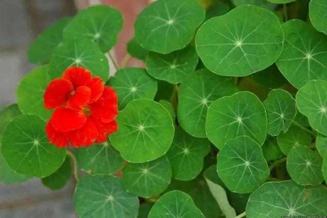 100种·花卉植物图谱_40