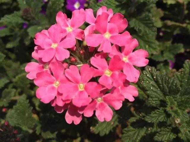 100种·花卉植物图谱_43