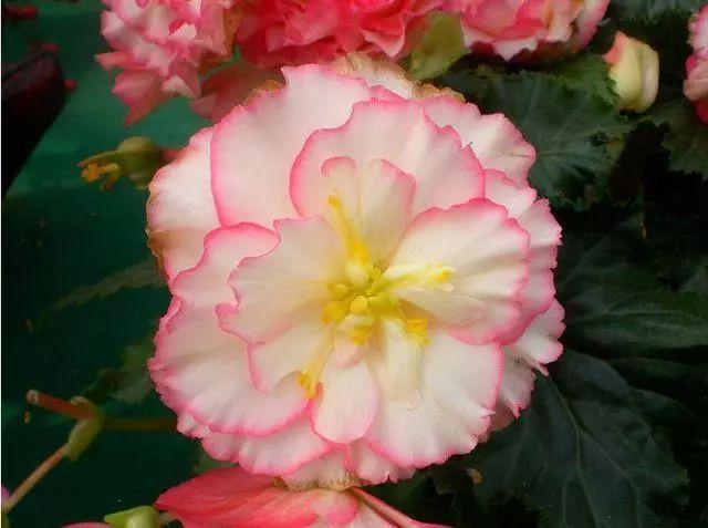 100种·花卉植物图谱_47