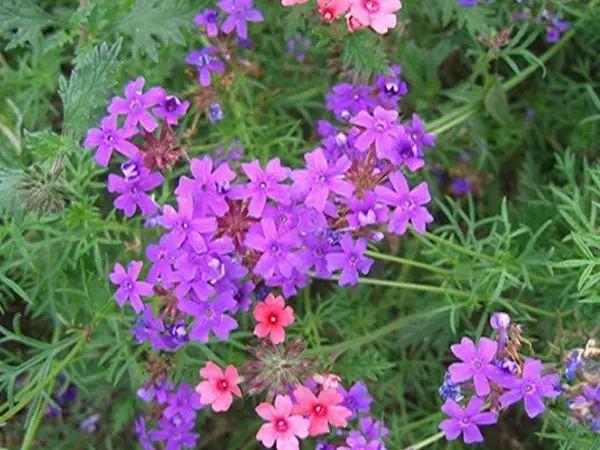 100种·花卉植物图谱_51