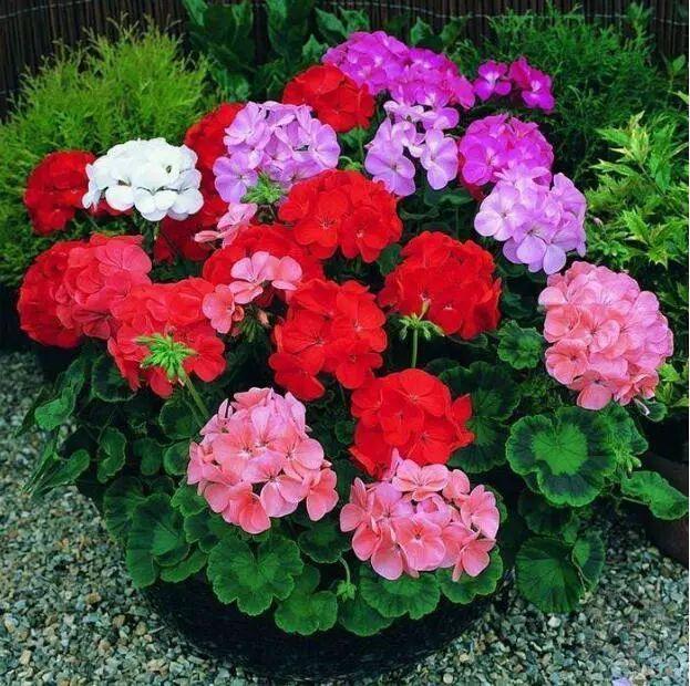 100种·花卉植物图谱_52