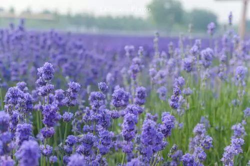 100种·花卉植物图谱_69