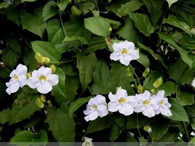 100种·花卉植物图谱_79