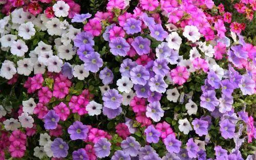 100种·花卉植物图谱_84