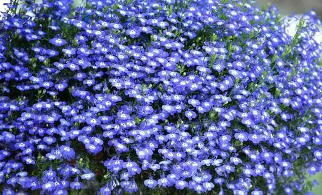 100种·花卉植物图谱_88