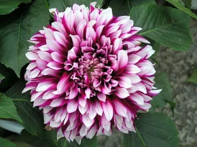 100种·花卉植物图谱_91