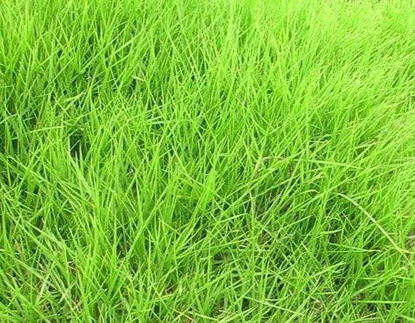 你的植物配置再厉害,又认识几种草坪草呢?_5