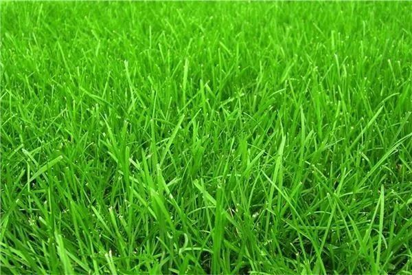 你的植物配置再厉害,又认识几种草坪草呢?_7