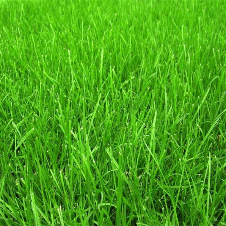 你的植物配置再厉害,又认识几种草坪草呢?_8