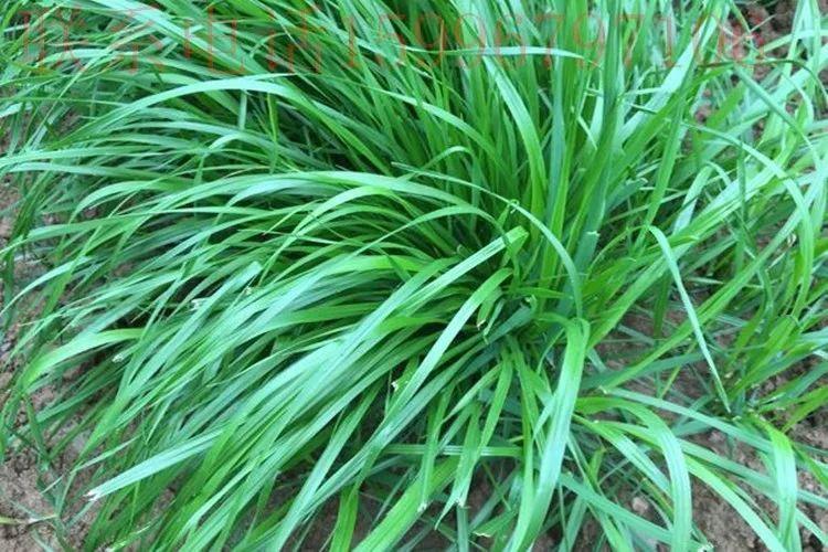你的植物配置再厉害,又认识几种草坪草呢?_9