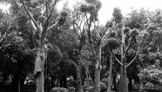 国家林业局禁令挡不住 佛山均价2.3万天价树开种