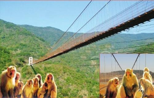 """河南花500万建吊索桥 称方便两岸猕猴""""串门探亲"""""""