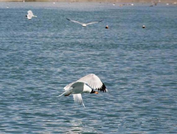 湖面自由飞翔的鸟类